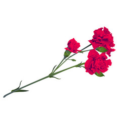 Red carnation flower bouquet bud isolated on white vector
