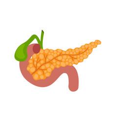 Pancreas on white background anatomy organ vector