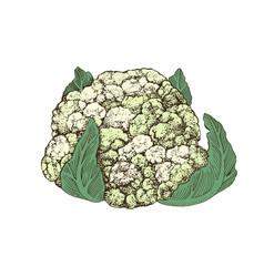 hand drawn cauliflower vector image