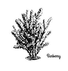 sketch berberis vector image