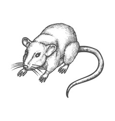 sketch mouse hand drawn wild rat rodent animal vector image