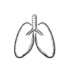 sketch human lungs with trachea vector image