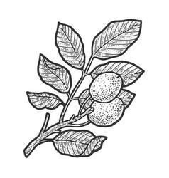 Walnut tree sketch vector