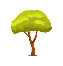 pine green tree isolated icon vector image