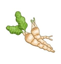 Horseradish colored botanical vector image vector image