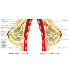 breast anatomy vector image