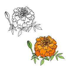 Tagetes or marigold flower vector