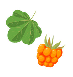 Cloudberry and leaf vector