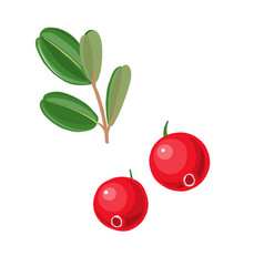 Cranberries and leaves vector
