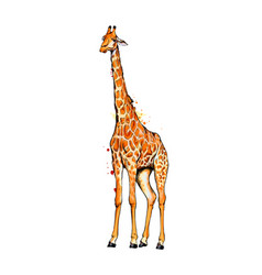 giraffe from a splash watercolor colored vector image
