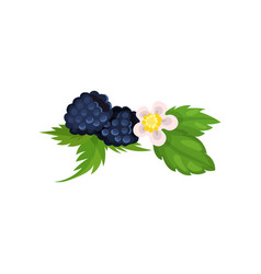 blackberry with leaves and blossom vector image