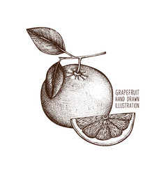 Vintage grapefruit vector