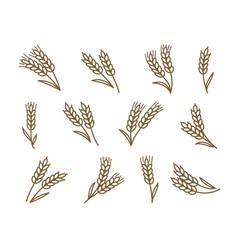 ears wheat barley vector image