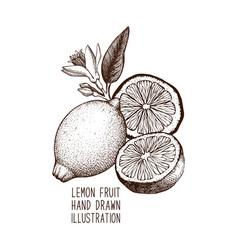 ink hand drawn lemon sketch vector image