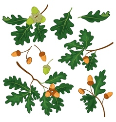 Oak branches with leaves and acorns vector