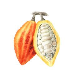 watercolor of cocoa branch vector image