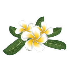 White plumeria with leaves vector image