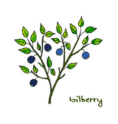bilberry ripe hand drawn vector image