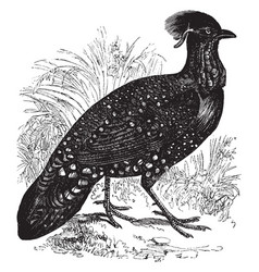 Horned pheasant vintage vector