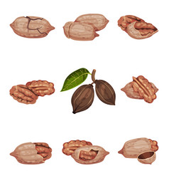Pecan nut kernel in shell and hanging on branch vector