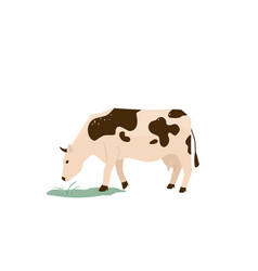 spotted black and white cow eat green grass vector image