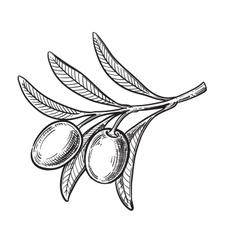 black olive symbol vector image