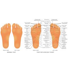 foot reflexology chart vector image