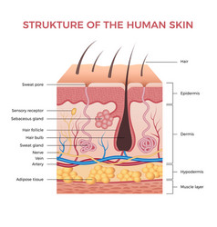 Skin anatomy human normal skin dermis epidermis vector