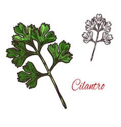 coriander or cilantro plant sketch of spice herb vector image