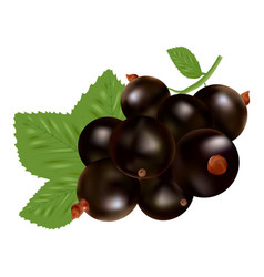 blackcurrant ripe berries and green leaves vector image