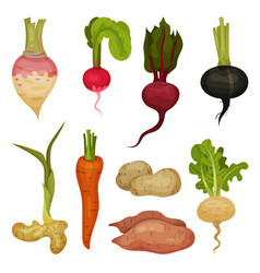 flat set of different root vegetables vector image