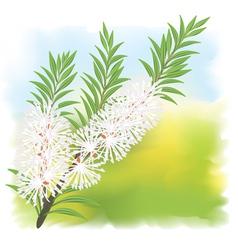 Melaleuca tea tree vector
