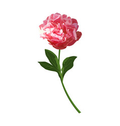red peony flower isolated herbaceous vector image