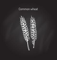 hand drawn wheat ears sketch vector image