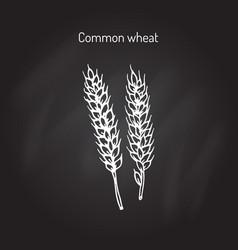 Hand drawn wheat ears sketch vector