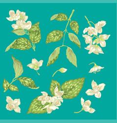 jasmine flower branch realistic graphic set vector image