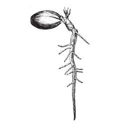 germinating acorn vintage vector image