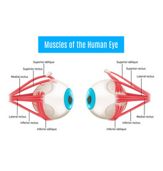 human eye anatomy diagram vector image vector image