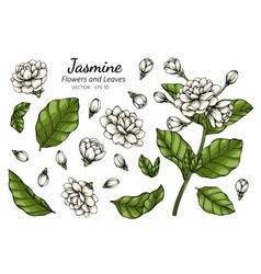 Hand drawn jasmine flower with line art vector