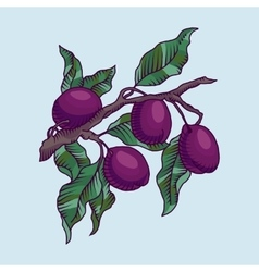 Plum branch with fruit vector image