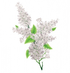 Lilac bunch vector