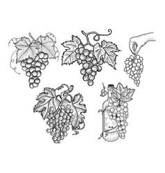 Grapes set sketch vector