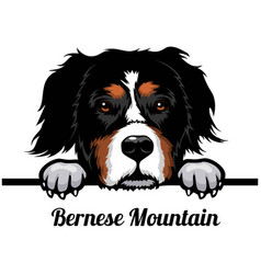 bernese mountain dog - dog breed color image vector image