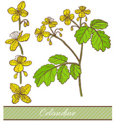 Colored celandine in hand drawn style vector