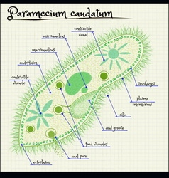 Paramecium caudatum vector image
