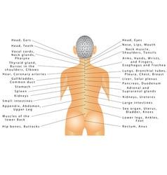 Spine organ correlation vector image