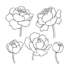 peony line drawing hand drawn outline vector image vector image