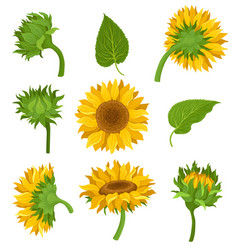 Botanical set of elements of sunflowers colored vector