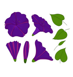 Isolation elements of violet or blue bindweed vector