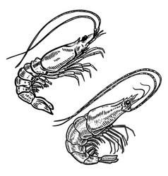 shrimp in engraving style design element for logo vector image